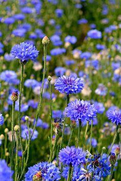 Wild Flower Meadow, Meadow Flowers, Lilac Flowers, Edible Flowers, All Flowers, Summer Flowers, Bachelor Button Flowers, Bachelor Buttons, Smith Gardens