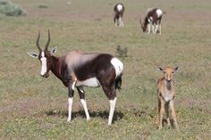 Bontebok (Damaliscus pygargus)
