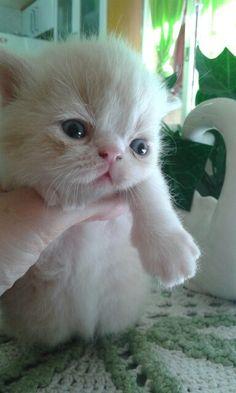 Gato exotico de pelo corto criadero colombia