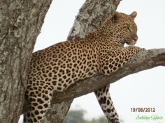 www.antelopesafaris.com Jaguar Leopard, Leopards, Tour Guide, Panther, Safari, Wildlife, Tours, Cats, Animals
