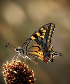 Such a beautiful shot of a yellow swallowtail!