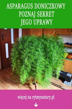 Asparagus doniczkowy - jak go uprawiać aby nie gubił liści Plant Decor, Potted Plants, House Plants, Asparagus, Herbs, Gardening, Flowers, Instagram, Plants