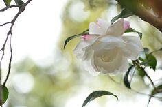Camellia sasanqua-)