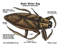 FACTS ABOUT THE GIANT WATER BUG - THE WATER BUG