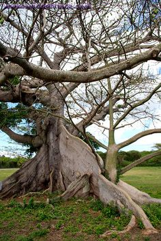 Ceiba Tree Puerto Rico | Photo titled: Ceiba Or Silk Cotton Tree, Vieques Island, Puerto Rico ...