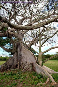 Ceiba Tree Puerto Rico | Photo titled: Ceiba Or Silk Cotton Tree, Vieques Island, Puerto Rico ...