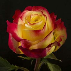 Beautiful rose w/red edge