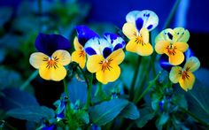 flower pictures, spring flowers, iphone wallpaper, blue flowers, color, motivational quotes, pansies, desktop wallpapers, blues