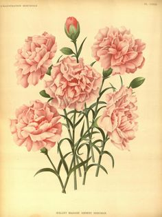 Dianthus Caryophyllus. Plate from 'L'Illustration Horticole' (1891). J. Linden and Charles Antoine Lemaire. Missouri Bot...