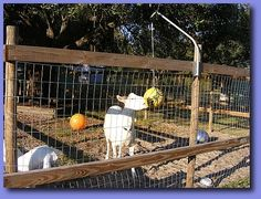 Tether Ball and other toys are great for keeping goats enterained. #goatvet says better for your goats to butt a ball then each other