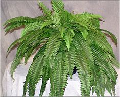67 Leaves Boston Fern Life-Like Silk Bush Plant Artificial Silk Plants, Cactus Plants, Cat Friendly Plants, Gerbera, Artificial Plants, Ferns, Silk Flowers, Greenery, Plant Leaves