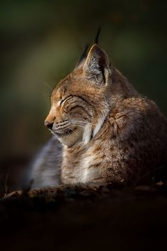 Lynx by Stefan Betz Nature Animals, Animals And Pets, Cute Animals, Lynx, Big Cats, Cool Cats, Beautiful Cats, Animals Beautiful, Cat Bobcat