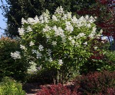 Height: 2 m feet) Spread: m feet) Bloom: Large cone-shaped white to pinkish flowers in late summer Exposure: Full sun to part shade Foliage: large dark green leaves Pluses: large fall blooms, winter interest Hydrangea paniculata (Pee … Read Pee Gee Hydrangea, Hydrangea Tree, Hydrangea Paniculata, Garden Planning, Green Leaves, Planting Flowers, Bloom, Plants, Hydrangea Macrophylla