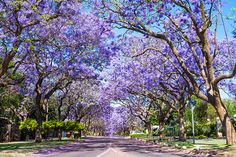 What are all the purple trees around L. They're jacarandas and they're here because of a pioneering female horticulturalist California Garden, California Cool, Southern California, California Travel, Front Yard Planters, Trees For Front Yard, Purple Trees, Purple Flowers, Tips For Growing Tomatoes