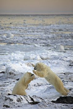 two male bear cubs sparring playfully, Hudson Bay near Churchill, Manitoba