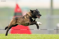Belgian Malinois Dog, Beautiful Dogs, Cute Animals, Animals, Cute Dogs, Pretty Animals, Malinois Dog, Cute Funny Animals, Cutest Animals