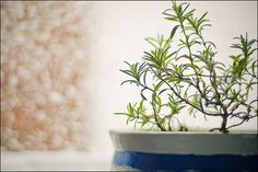 Grow rosemary indoors for snowy weather