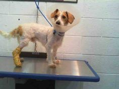 ONLY 2 SHARES ON FACEBOOK FOR THIS ANGEL!!! PLS. RE PINN......LAST CALL! LAST CALL! LAST CALL! SCRUFF (A1666432) I am a male white and tan Poodle - Miniature mix. The shelter staff think I am about 1 year old and I weigh 14 pounds. I was turned in by my owner and I am available for adoption. — hier: Miami Dade County Animal Services. https://www.facebook.com/urgentdogsofmiami/photos/pb.191859757515102.-2207520000.1418570148./888705417830529/?type=3&theater