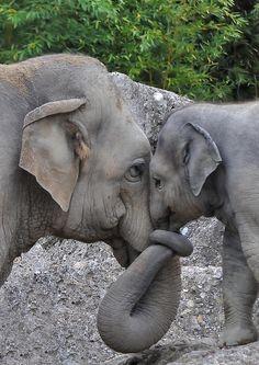 """Elefanten können sehr laut (100 Dezibel) und für uns unhörbar """"leise"""" (14-24 Hertz) sein. Sie können über Entfernungen von 2,5 km miteinander kommunizieren."""