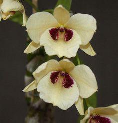 Dendrobium albosanguineum ORCHIDS x 1 plant