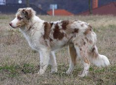Red Merle Border Collie
