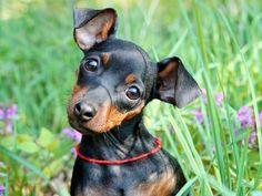 Como entender as atitudes do seu cãozinho de estimação?