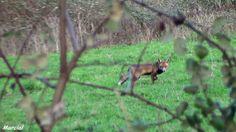 Zorro, (raposo)