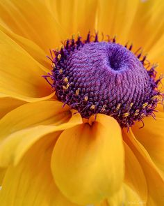 138 best purple and yellow images on pinterest purple yellow yellow and purple flower macro mightylinksfo