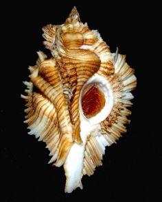Pterynotus (Pterynotus) miyokoae Kosuge, S., 1979 C.Urukal