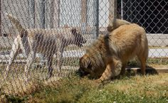 Meet Star, a Petfinder adoptable Chow Chow Dog | Lewisburg, TN | Star was picked up on Mooresville Rd on 4/28/15. He appears to be a young male chow shepherd mix...