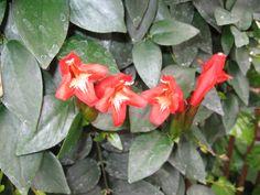 aeschynanthus pulcher - Cerca con Google