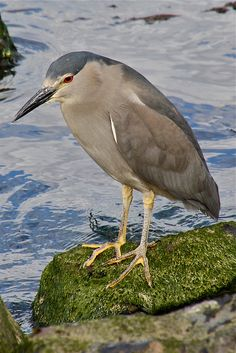 Black-crowned Night Heron - Nycticorax nycticorax obscurus