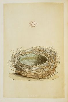 Bearded Tit Nest & Eggs Reverend Morris 1800s by PaperPopinjay