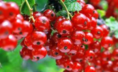 So you live in a cooler region of the United States but want to grow more of your own food, like berries. There are many edible berries suitable for zone some commonplace and some lesser known. Learn more in this article. Berry Plants, Toxic Mold, Gardening Zones, Zone 5, Organic Gardening, Berries, Cold, United States, Gardens