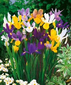 Máte rádi květiny ve váze? Vypěstujte si kosatce, které budou ozdobou na zahradě i na stole. Iris Flowers, Love Flowers, Plants, Image, Recherche Google, Photos, Gardens, Irises, Shrub