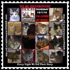"TO BE DESTROYED 12/01/16 - - Info  Please Share:Please share View tonight's list here: http://nyccats.urgentpodr.org/tbd-cats-page/  The shelter closes at 8pm. Go to the ACC website( http:/www.nycacc.org/PublicAtRisk.htm) ASAP to adopt a PUBLIC LIST cat (noted with a ""P"" on their profile) and/or … CLICK HERE FOR ADD...-  Click for info & Current Status: http://nyccats.urgentpodr.org/to-be-destroyed-091716/"
