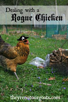 Dealing with a Rogue Laying Hen #FreeRangeChickens, #LayingHens, #PasturedChickens #AnimalsandLivestock