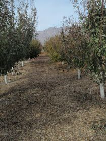 Xtremehorticulture of the Desert: How Far Apart Should You Plant Fruit Trees?