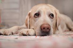 Señales de enfermedades cardíacas en los perros - Mis animales