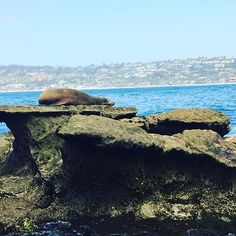 These guys just got it good... 😎  #SeaLion #Seal #LaJolla #Jealous #SanDiego #lajollalocals #sandiegoconnection #sdlocals - posted by Brett Knudsen  https://www.instagram.com/fitsailor23. See more post on La Jolla at http://LaJollaLocals.com