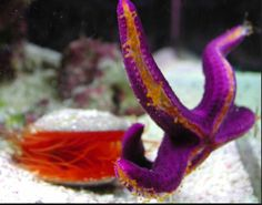 I want this purple starfish