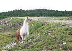 Alpakas und Lamas sind in Europa mittlerweile weit verbreitet.