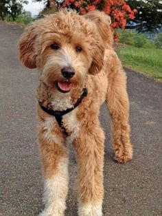 Joey the Labradoodle -- Dog Breed: Labrador Retriever / Poodle Goldendoodle Haircuts, Goldendoodle Grooming, Dog Haircuts, Dog Grooming, Labradoodle Dog, Standard Goldendoodle, Maltipoo, Labradoodle Pictures, Goldendoodles
