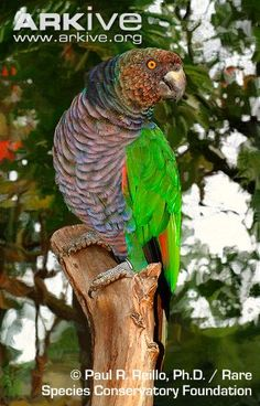 Imperial Amazon, or Imperial Parrot, or Dominican Amazon, or August Amazon, or Sisserou (Amazona imperialis) female