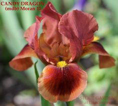 "(Anita Moran 2012) MDB iris, 7"" (18 cm), ML Flower: S. red copper; style arms lemon yellow crest, a mix of yellow and copper; F. red blending to copper with ¹⁄₈˝ edge of old gold, yellow rays around b"