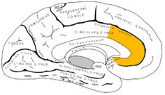 anterior cingulate cortex is responsible for autonomic functions/control such as regulating blood pressure and heart rate AND rational cognitive funcitons. ACC is involved with early learning tasks. It has a lot of spindle cells. Stroop test activates the ACC.