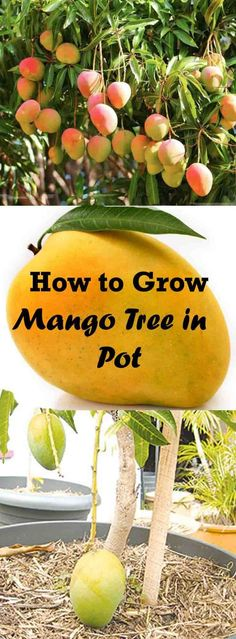 How to Grow A Mango Tree in a Pot Learn how to grow world's most delicious fruit in container. Get productive result, healthy plant by [. Fruit Garden, Edible Garden, Fruit Plants, Fruit Flowers, Banana Plants, Fruit Fruit, Mini Plants, Plants In Pots, Fruit Trees In Containers