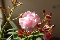 Bittersweet-flower-meaning