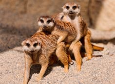 Meerkat threesome lol