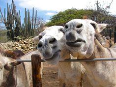 Donkeys, Aruba #onehappyisland